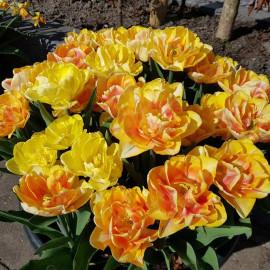 Tulip Bulbs Foxy Foxtrot