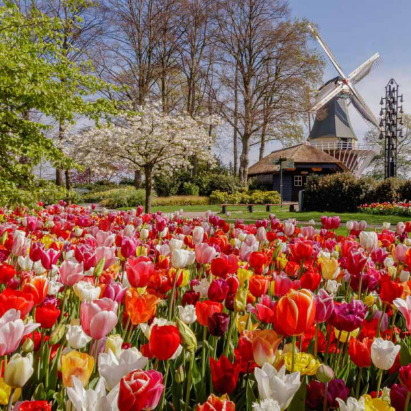 Buy Tulip Bulbs Delightfully Dutch Tulip Mix Online - Green plants & flowering plants