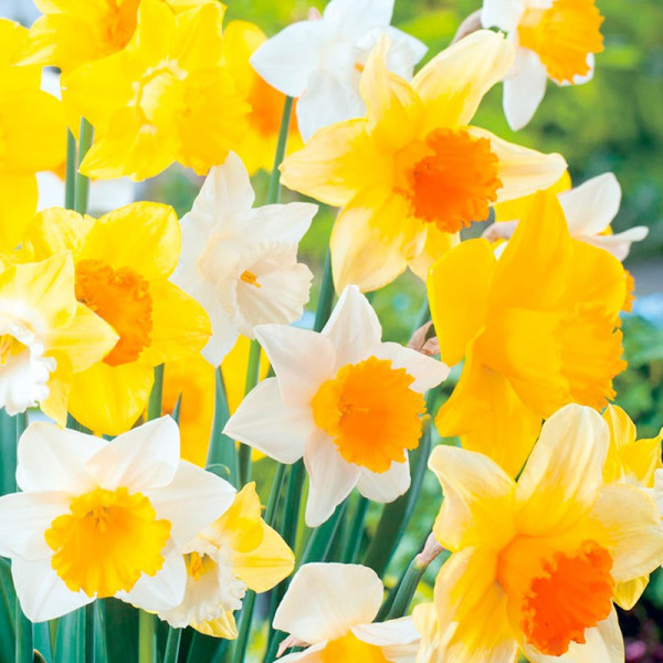 Buy Daffodil Bulbs Large Cup Mix Online - Garden Plants & Bushes