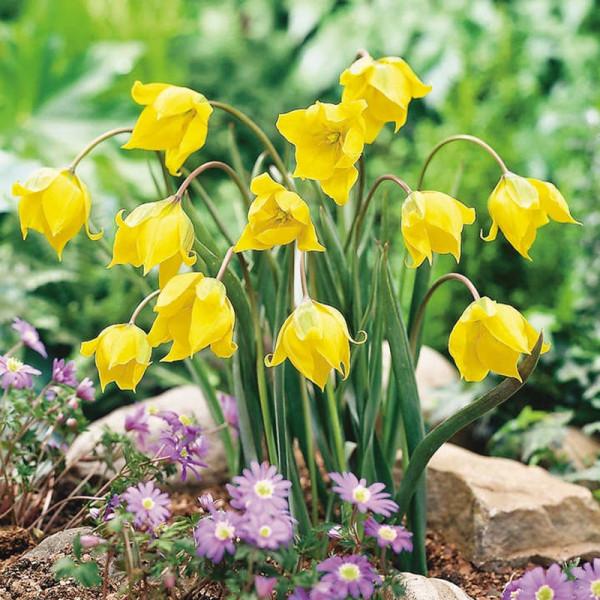 Buy Woodland Tulip Bulbs Online - Garden Plants & Bushes