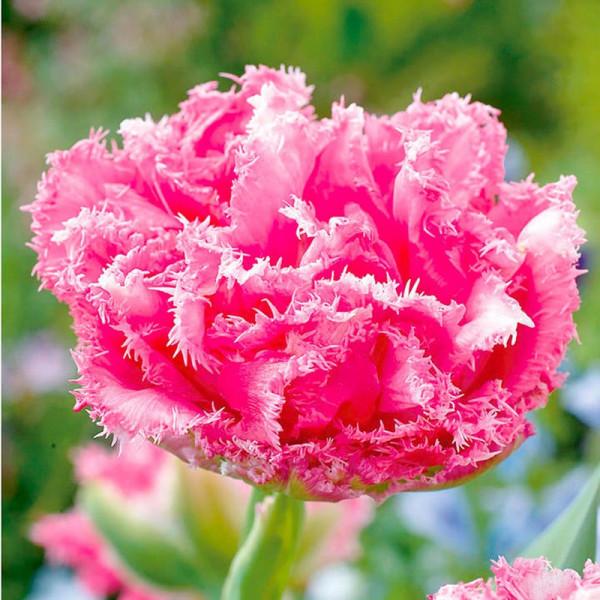 Buy Tulip (Fringed) Bulbs Crispion Love Online - Garden Plants & Bushes